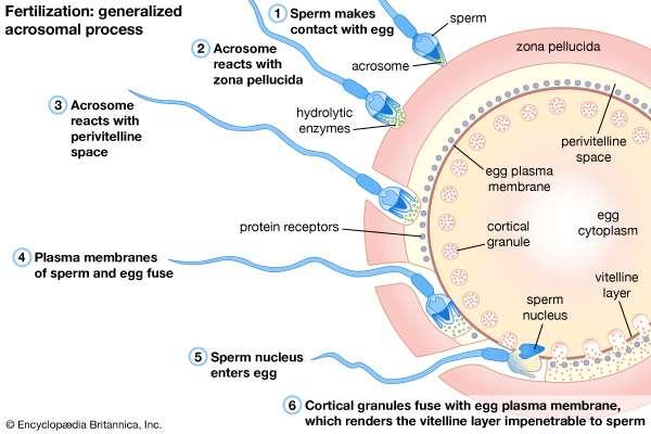 Enzyme sperm penetrate egg