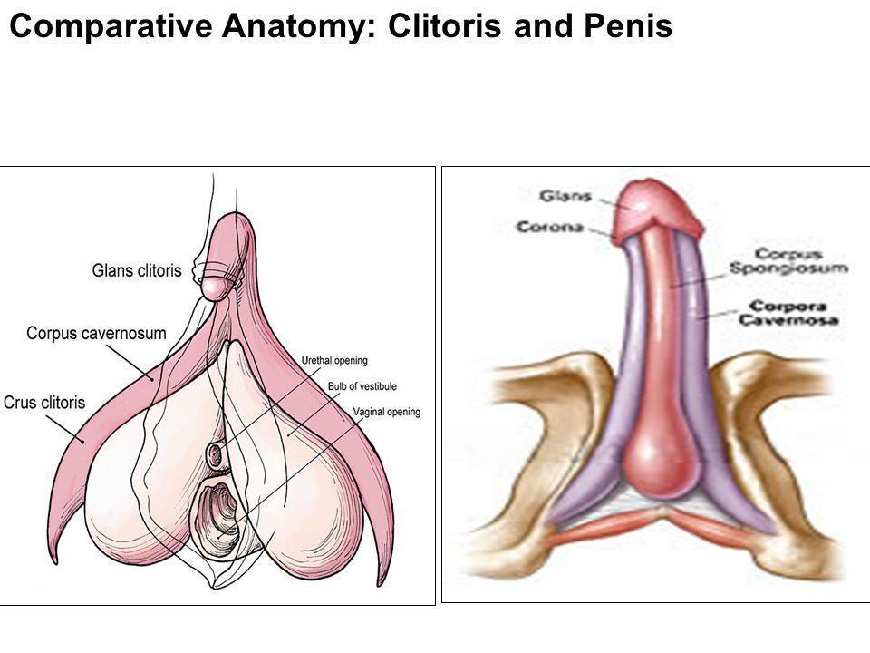 Clitoris to penis surgery