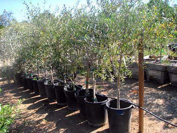 Fruiting olive tree mature size