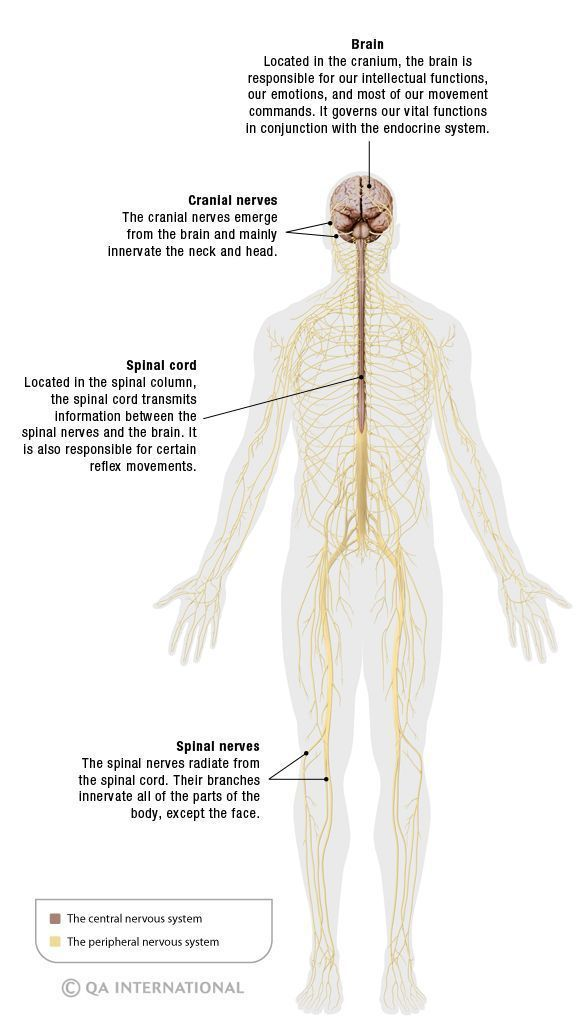 Olympus reccomend Adult body human in many mile nerves