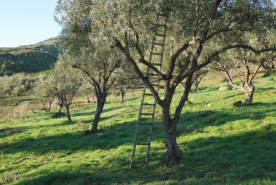 best of Mature Fruiting size tree olive