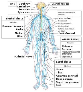 best of Human nerves many Adult mile body in