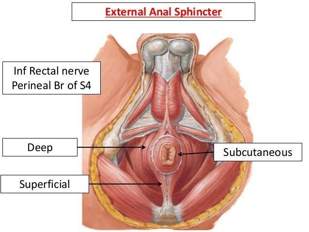 best of The anus anatomy of The