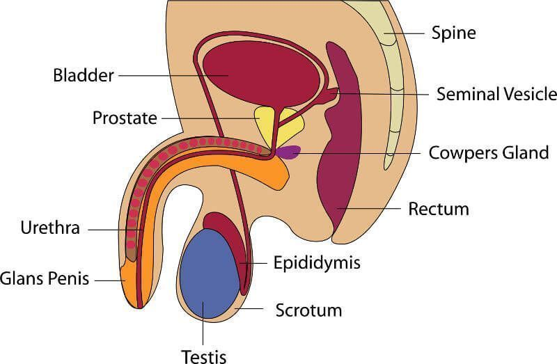 best of Cannot Name sperm cells men who produce of