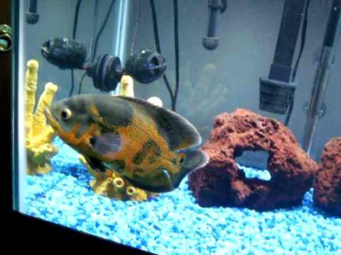 Lilac reccomend Adult oscar fish