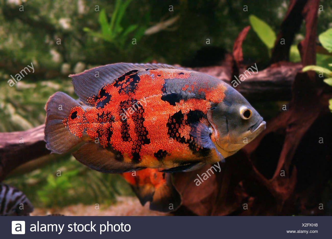 Adult oscar fish