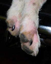 Atopic lick dermatitus
