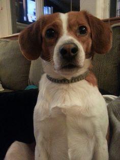 Bee lick beagles