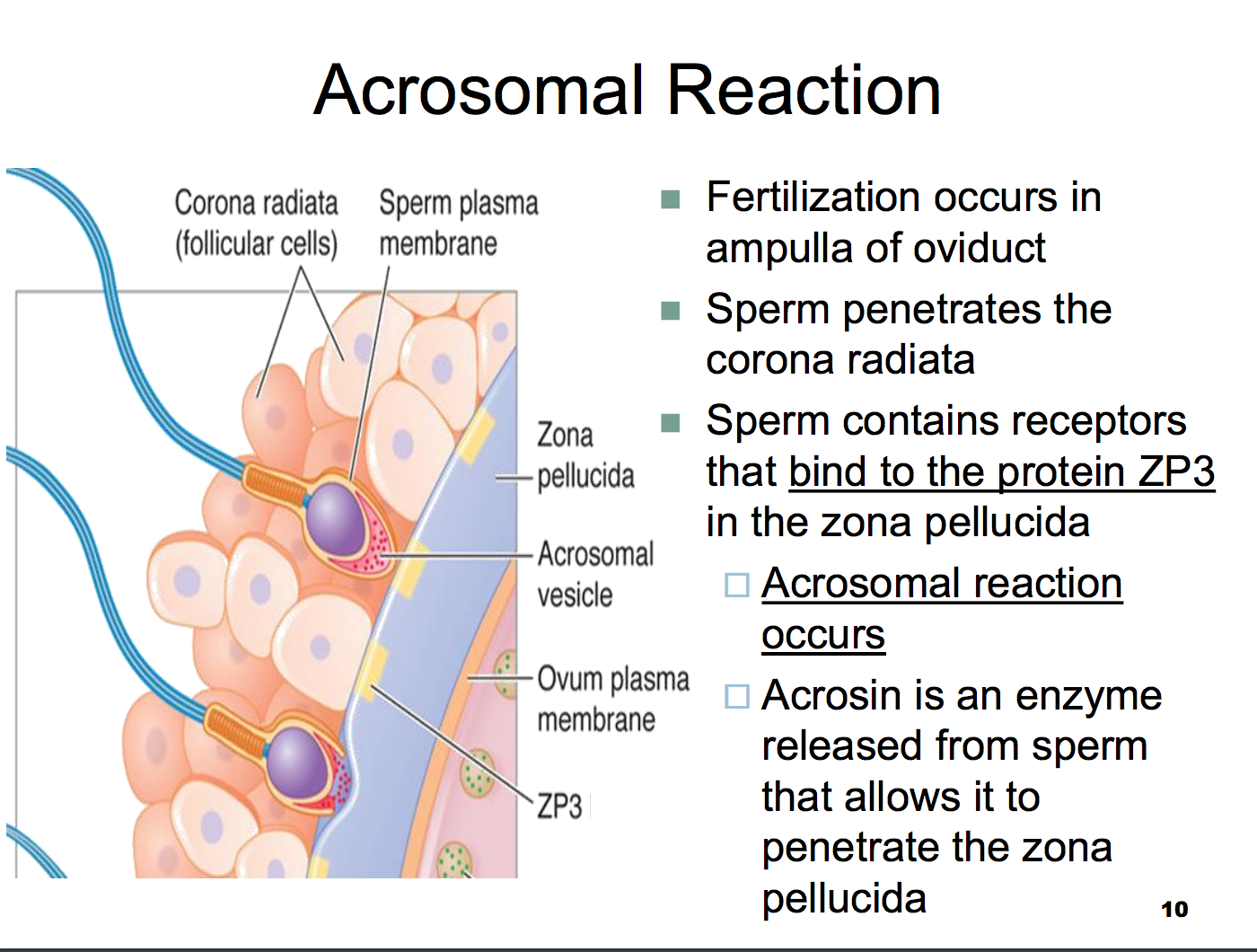 best of Sperm egg Enzyme penetrate