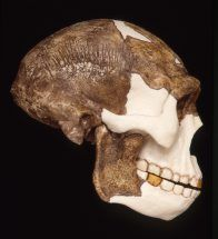 Facial appearences of ngandong skulls