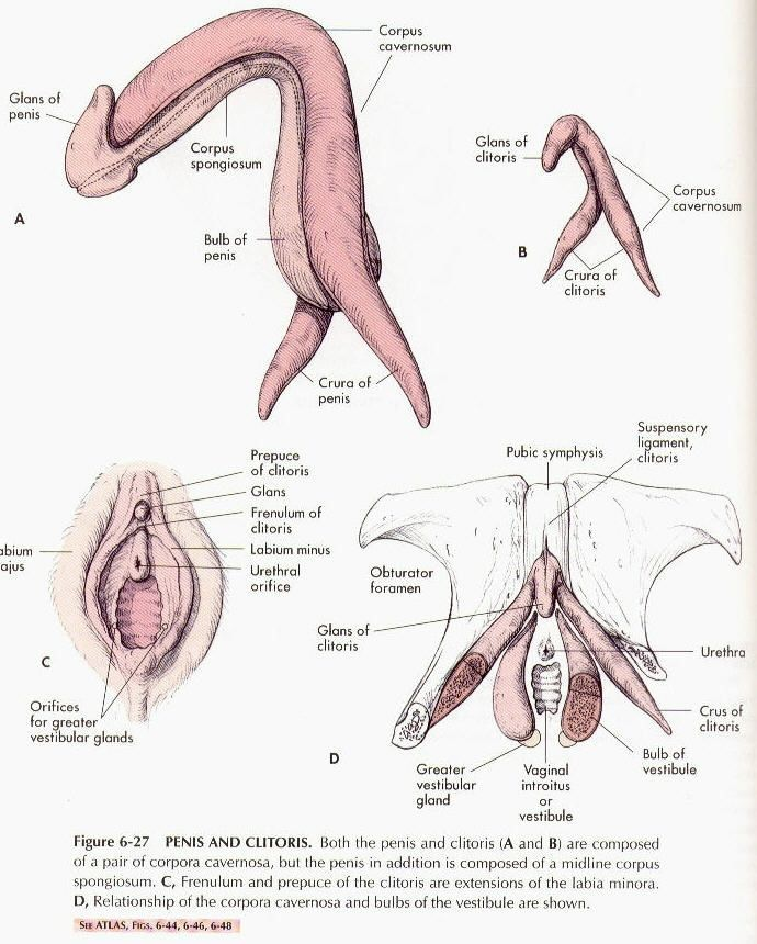 Clitoris to penis surgery