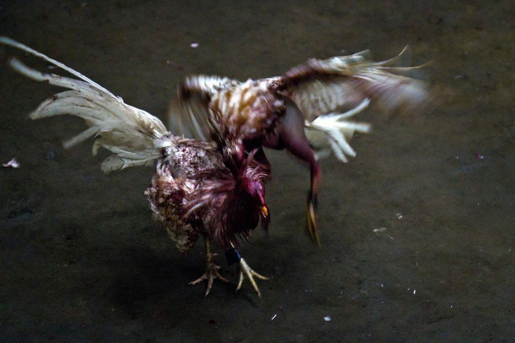 best of Fighting gaffs Filippino cock
