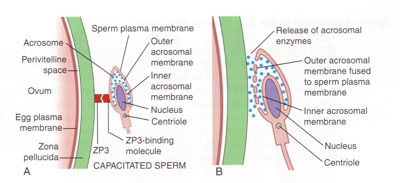 Blackbeard reccomend Enzyme sperm penetrate egg