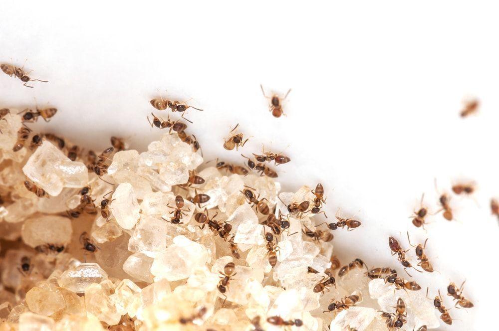 Of piss ants rid good idea Should
